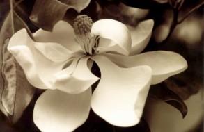 Dreamy Magnolia
