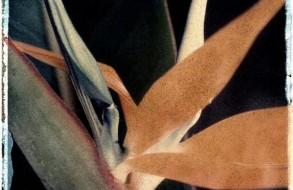 Bird of Paradise, polaroid transfer